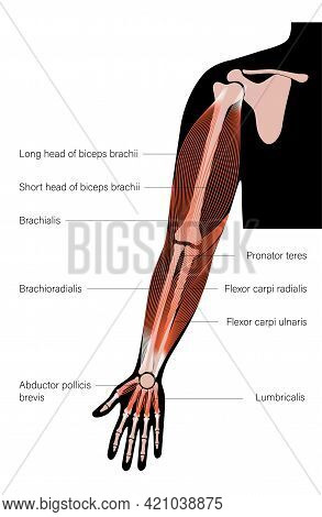 Human Biceps, Triceps Brachioradialis And Other Muscle Of Arms Anterior View. Muscular System Poster