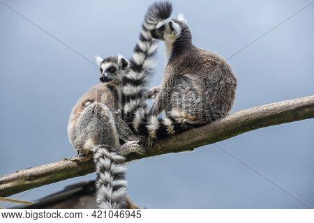Pair Of Ring Tailed Maki Catta Lemur With Big Orange Eyes. Madagascar Lemur.