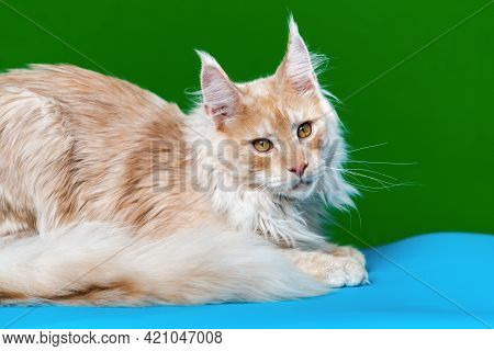 Lovely Longhair Cat Breed Maine Coon Cat. Portrait Of Red Tabby Male American Longhair Cat Looking A
