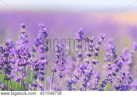 Bee and lavender flower. Nature composition.