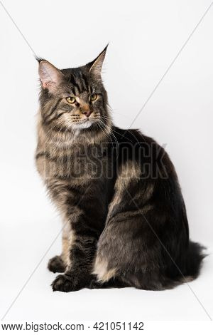 Longhair Cat Breed American Forest Cat. Portrait Of Mackerel Tabby Male Maine Coon Cat Sitting. Stud