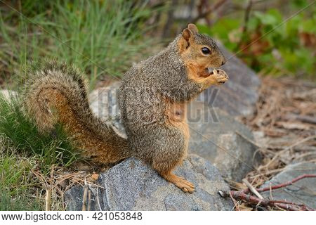 Pregnant Red Fox Squirrel With Teat Standing On Rock While Eating Kernel Of Corn