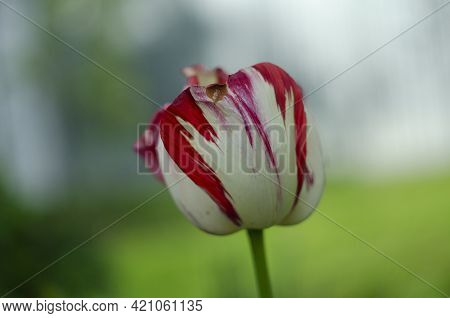 White And Red Tulip Background. White Red Tulip In Green Foliage. Red And White Tulips.darwin Hybrid