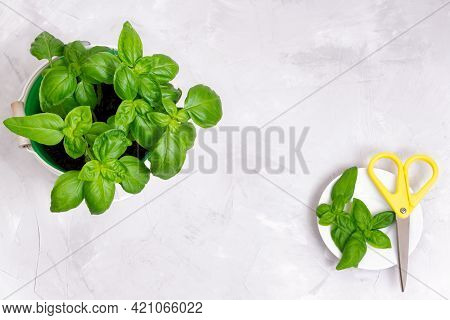 Sweet Basil In A Bucket And Fresh Cut Leaves On A White Saucer With Yellow Scissors On A Concrete Ta