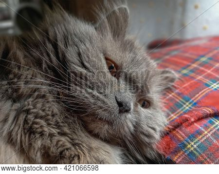 Close-up Of A Gray 17-year-old Cat. The Female Is Lying On A Red Checkered Cushion. The Pet Is Resti