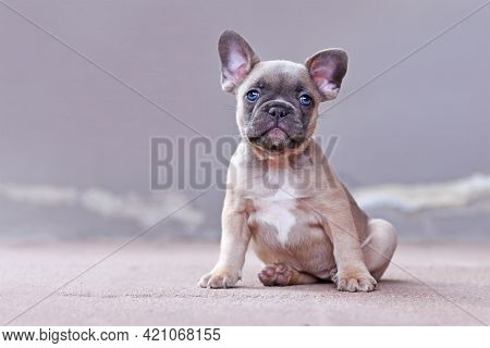 Adorable Lilac Fawn Colored French Bulldog Dog Puppy With Blue Eyes In Front Of Gray Background