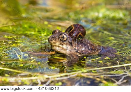 European Spadefoot Toad With Leech Attached To Neck.