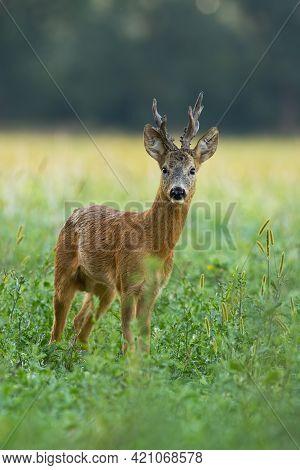 Roe Deer Buck Tanding On Meadow In Summer In Vertical Shot