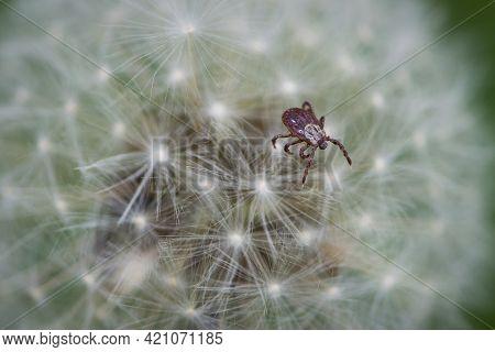 Mite. Acari Sitting On A Dandelion. Ixoid Mite In Macro Focus On A White Fluffy Dandelion. Macro Pho
