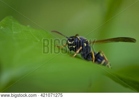 European Wasp. Ultra Macro Photo. Wasp On A Green Leaf. Parts Of The Body Of A Wasp Close-up. Insect