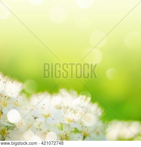 Image With Soft Focus Of Blooming Rowan White Flowers Close-up On Sunlit Blurry Yellow-green Backgro