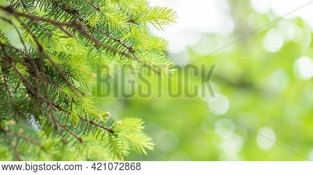 Spring Banner With Young Green Fir Needles On Blurred Green Bokeh Backdrop With Copy Space.