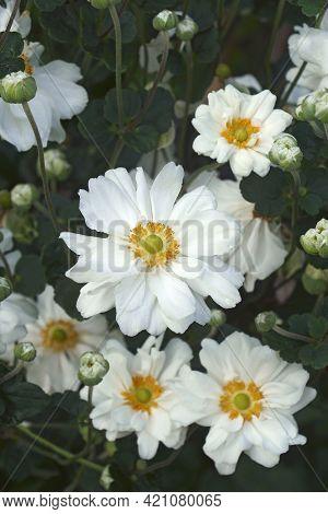 Close-up Image Of Japanese Anemone Flowers.