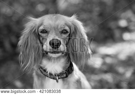 A Beautiful Cocker Spaniel Portrait Outdoors In Nature In Black And White Format