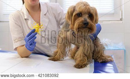 Veterinarian Demonstrates Plastic Tick Prevention Concept Of Ticks In Dogs