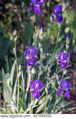 Purple Irises Flowers In The Garden (selective Focus, Bokeh)