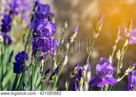 Purple Iris Flowers In The Rays Of The Spring Sun (selective Focus, Bokeh)