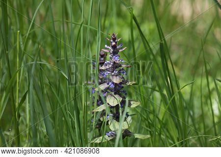 Close-up Of Beautiful Blue Flowers Of Ajuga Reptans Atropurpurea In Spring