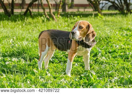 Beagle Dog Stands On A Green Lawn In The Park. Walk In The Park With The Dog. Lop-eared Short-haired