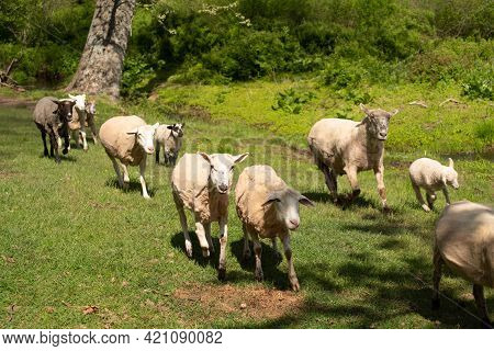 Beautiful Idyllic Green Pastoral Image Of Sheep And Cute Lambs Hurrying Home. Natural Light With Cop