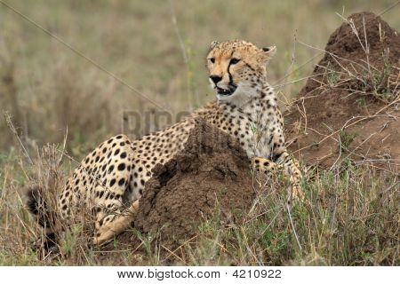 Gepard Acinonyx Jubatus In der Serengeti