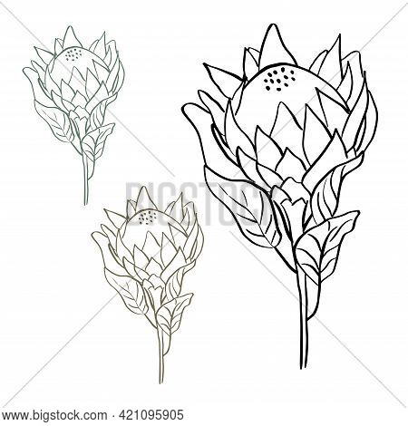 Tropical King Protea Flower In Blossom Isolated On White Background. Hand Drawn Line Style Vector Il