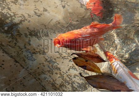 Koi Carp In A Pond With Fallen Leaves On The Surface Of The Water. Beautiful Koi Fish. High Angle Vi
