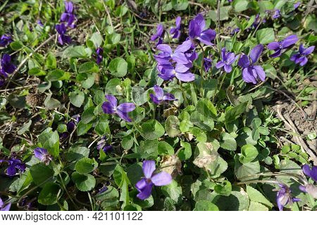 Bright Purple Flowers Of Dog Violets In March