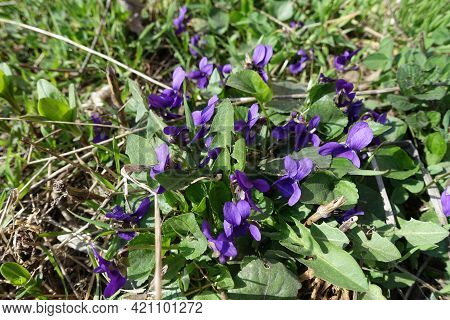 Bunch Of Purple Flowers Of Dog Violets In March