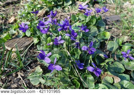 Dog Violets In Full Bloom In March