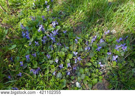Florescence Of Dog Violets In Mid March