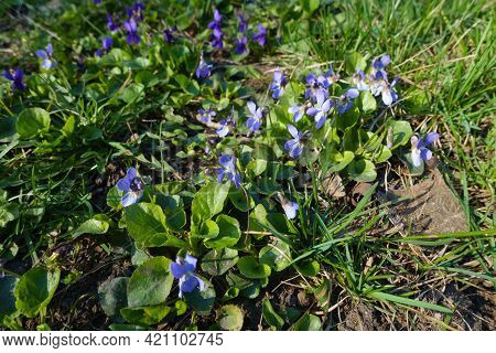 Leaves And Violet Flowers Of Viola In Mid March