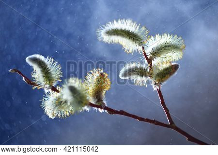 Willow Branch With Yellow Catkins On Light Blue Background. Abstract Background With Seleclive Blurr