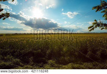 Spring Landscape With Fields Of Oilseed Rape In Bloom Under Blue Sky With Cumulus Clouds. Natural Ba