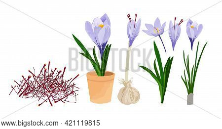 Saffron Flower. Iranian Food Seasoning Vector Stock Illustration. Stages Of Plant Growth. Krouse. An