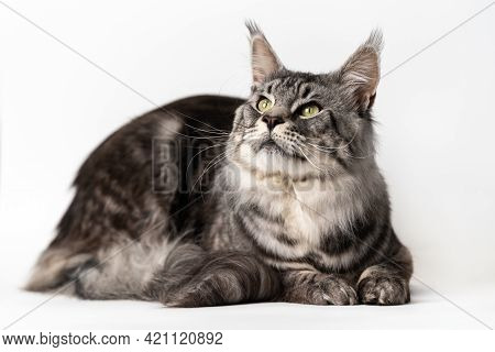 Mackerel Tabby Maine Coon Cat Lying On White Background And Looking Up. Studio Shot Curiosity Americ