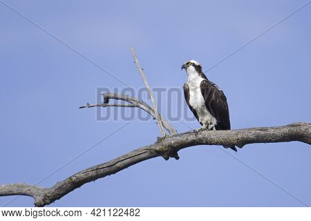 An Osprey Is Perched On A Barren Branch Watching For Fish To Catch In Coeur D'alene, Idaho.