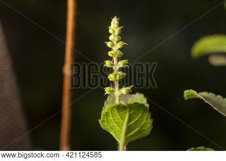 Basil (tulsi). Closeup Of Indian Basil Plant Basil Organic Ayurveda Acreage Herb Of India.