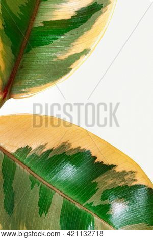Closeup of fresh Indian rubber plant leaves