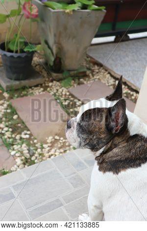 French Bulldog, Unaware French Bulldog On The Floor