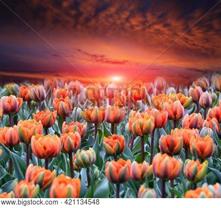 Majestic tulips flower meadow on sunset sky background