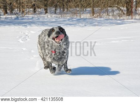 Black and white spotted Texas Heeler running through snow with a goofy expression on her face
