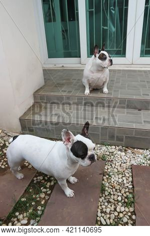 French Bulldog, Two French Bulldogs Or Two Dogs On The Floor