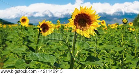 Closeup Of Sunflower Field In Summer. Blurred Background Of Snow Capped Mountain Ridge In The Distan