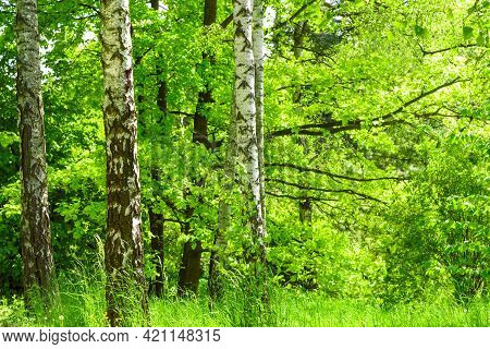 Fresh Green Birch Forest In Summer Spring Day. High Resolution Image Ideal For Interior Decoration I