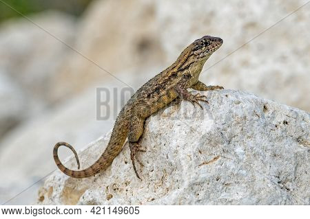 A Curly-tailed Lizard Rests On A Rock In Bahia Honda State Park In Florida.