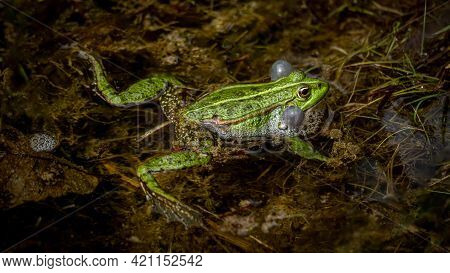 One Breeding Male Pool Frog With Vocal Sacs On Both Sides Of Mouth In Vegetated Areas In Water. Pelo