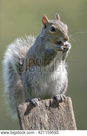Vertical Shot Of A Squirrel Standing On A Post Eating A Nut.