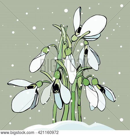 The Snowdrops Making Their Way Through The Snow, Isolated On A Pastel Background