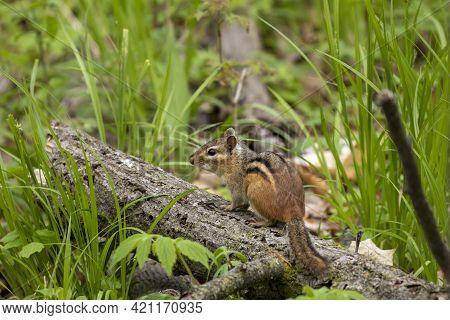 The Eastern Chipmunk (tamias Striatus) In The Park.